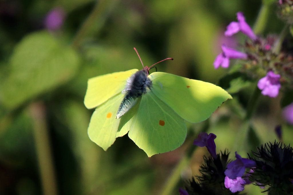 Common_brimstone_butterfly_(Gonepteryx_rhamni)